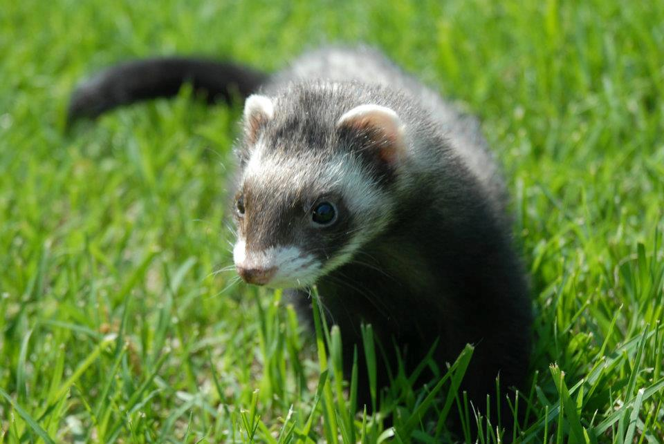 Closeup of Ferret playing in grass.
