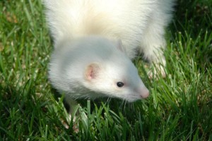 Albino ferret on grass